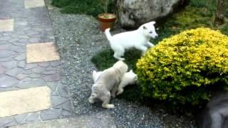 小さい2匹は同胎の姉妹です。白が押さえこまれると胡麻が助けにきます。