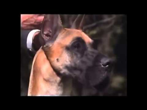 American Kennel Council Video on the Great Dane Part1
