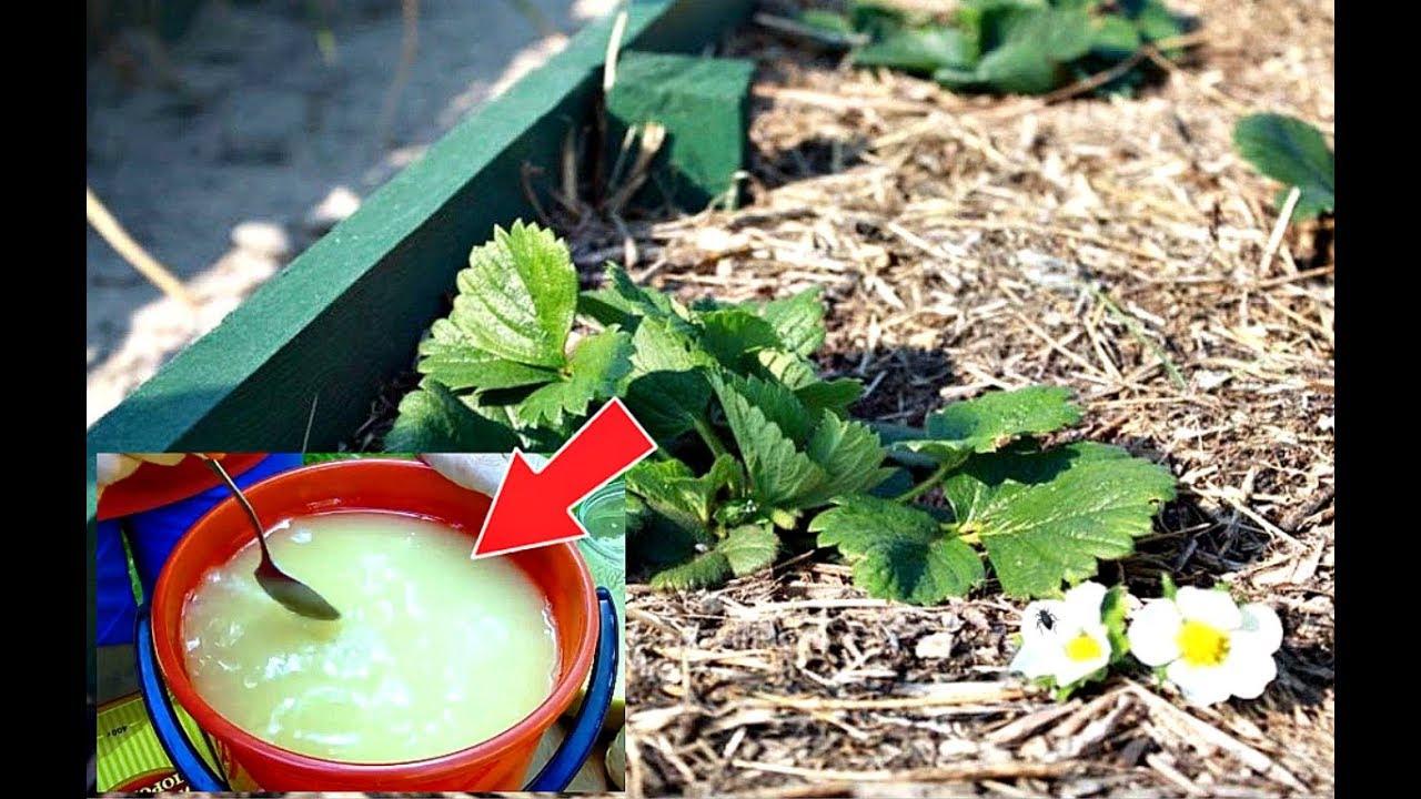 Облейте этим клубнику весной в апреле мае от долгоносика! Как бороться с долгоносиком на клубнике?