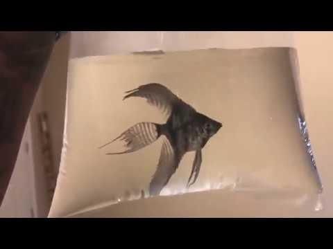 🤘🏾😮 I Got A RARE Blue Pinoy X Black Lace Angelfish   Added Amazon Sword Plants