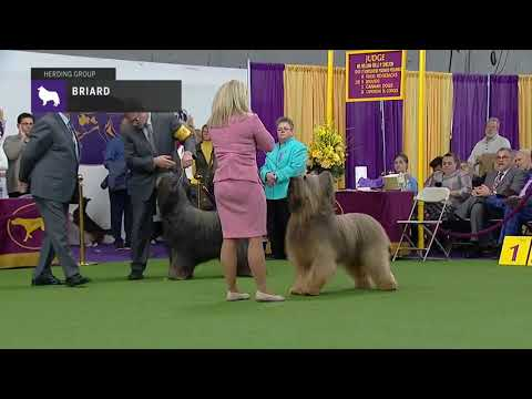 Briards | Breed Judging 2019