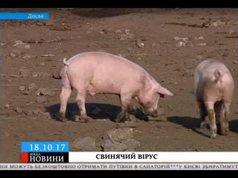 ТРК ВіККА: На Уманщині зафіксували африканську чуму свиней