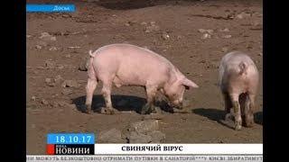 На Уманщині зафіксували африканську чуму свиней