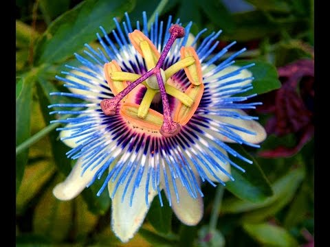 Anxious? Overthinking? Can't Sleep? Passion Flower Can Help!