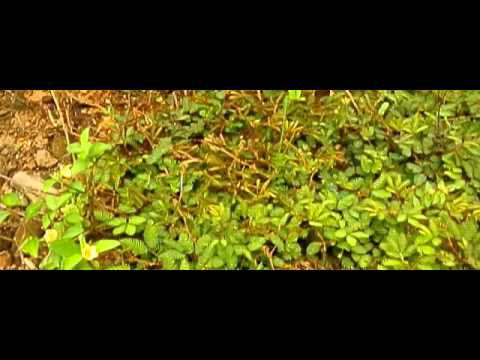 Mimosa leaves folding in slow motion