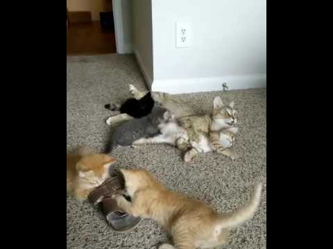 Busy Cat Mom And Her Crazy Cute Kittens