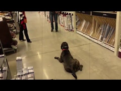 Giving a quick demo for a Home Depot Employee! | American Bulldog Mix