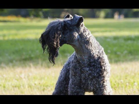 Terrier Kerry Blue - (Kerry Blue Terrier)  Raza de Perro