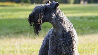 Terrier Kerry Blue  (Kerry Blue Terrier)  Raza de Perro