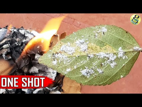Best Pest Control Method + 6 Ways to Eliminate Aphids MealyBugs with Organic Pesticides