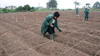 Six Steps to Cassava Weed Management and Best Agronomic Practices