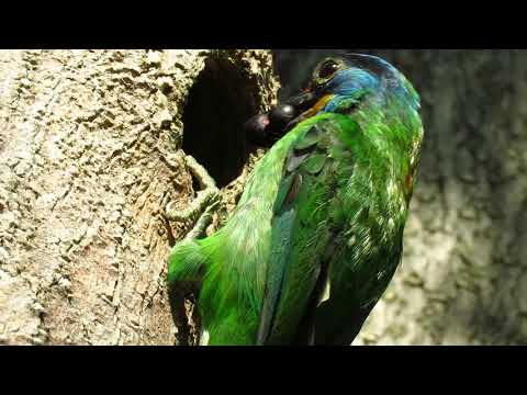 2017年校園五色鳥生態影片