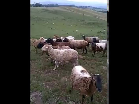 ZULU SHEEP