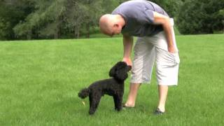 Chief The Miniature Poodle