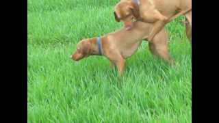 Repeat youtube video Dog Breeding: Magyar Vizsla  Saar en Chivas
