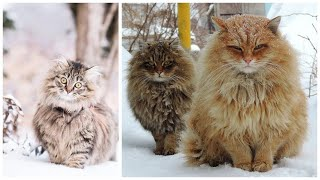 14 Interesting Facts about Siberian Cats