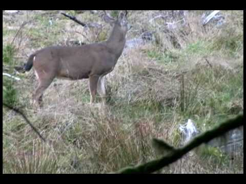 HawkeyeBilt Productions BlackTail Deer Rattled in to 50 yards