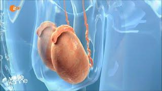 Testosteron - Unfruchtbarkeit droht...Vorsicht bei Einnahme als Muntermacher