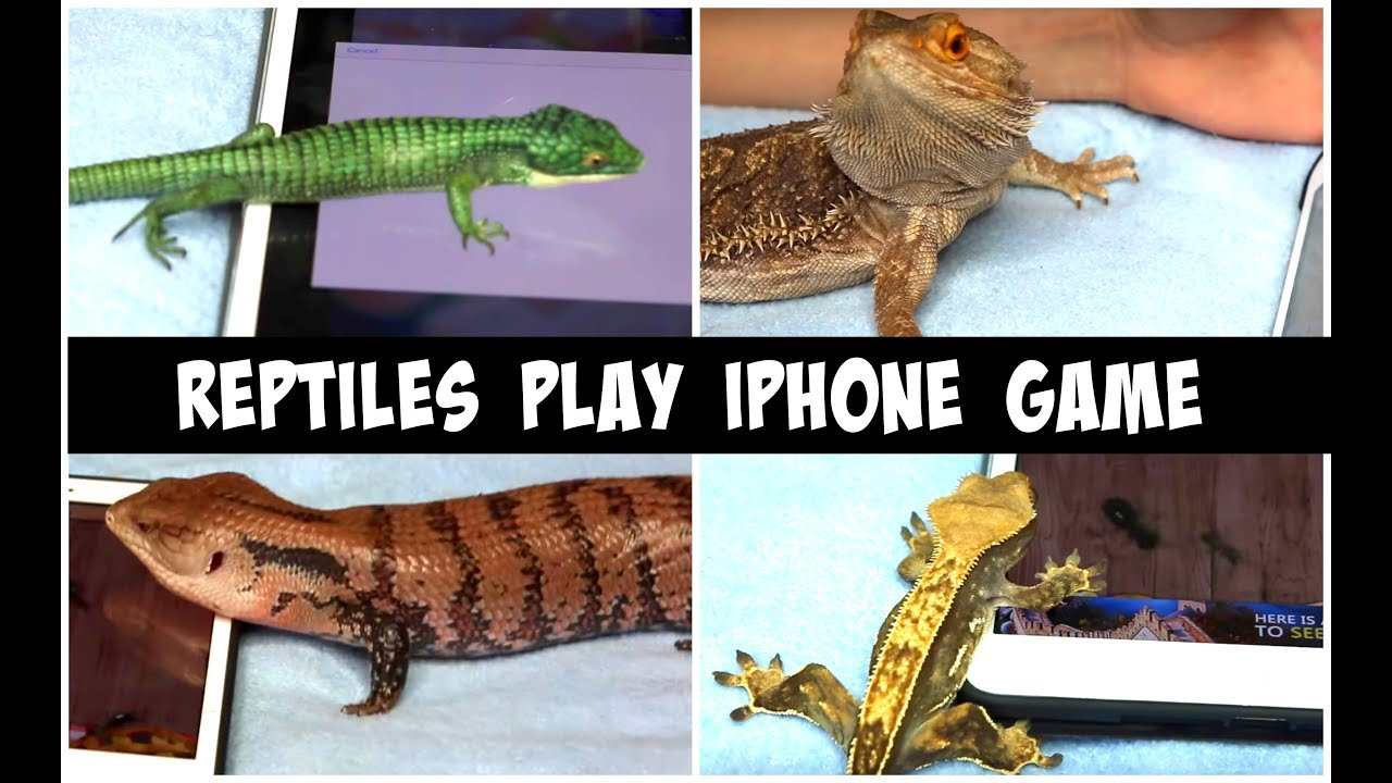my-lizards-react-to-ant-smasher-app-reptiles-playing-iphone-game