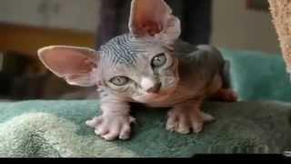Коты сфинксы инопланетяне