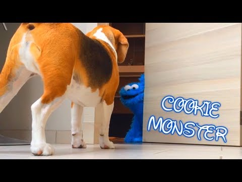Funny Dog Pranked by The Cookie Monster : Cute Beagle Louie