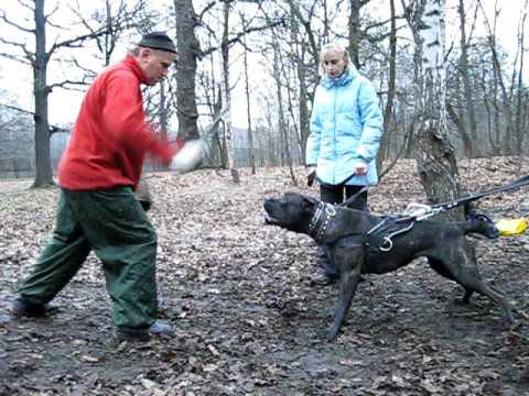 Cane corso.Bite training.episode12 - YouTube