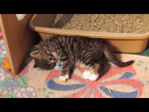 4 weeks old Siberian kittens - moved to a big babies playpen