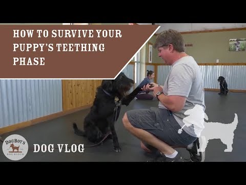 how-to-survive-your-puppy's-teething-phase-|-dog-training-&-puppy-parenting-|-dogboy's-dogvlog