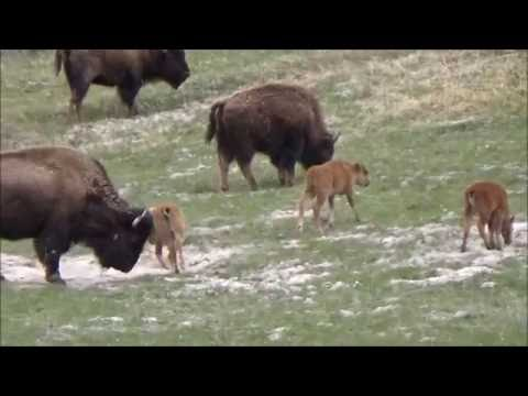 Yellowstone National Park - Baby Bison , Hot Geysers, Morning Glory Pool