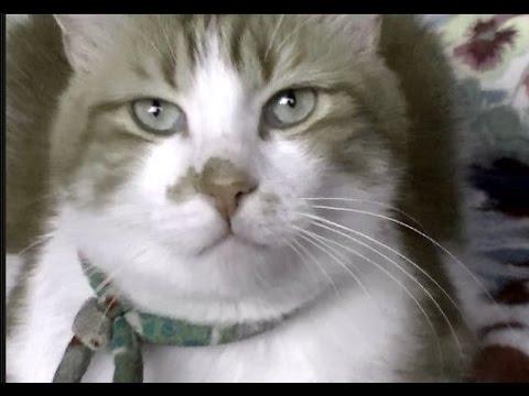 美味しい物がないと言ったら機嫌が悪くなる猫♥♥猫との会話を楽しむ動画 Conversation with a cat