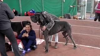 Super! ОГРОМНЫЙ НЕМЕЦКИЙ ДОГ!A huge Great Dane.Выставка собак. Odessa.