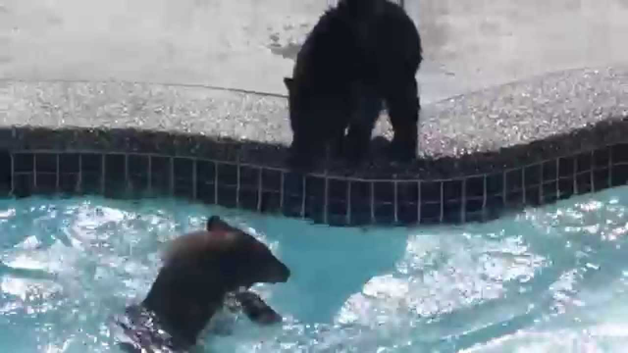 Bear cubs in swimming pool youtube for Bears in swimming pool new jersey