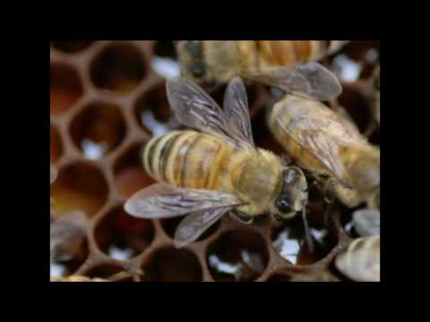Nosema Symptoms in Honey Bee Colonies