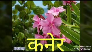 Easiest method of growing oleander plant(कनेर का पौधा लगाने का सरल तरीका)