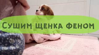 Груминг щенка КАВАЛЕРА / сушка феном и стрижка когтей
