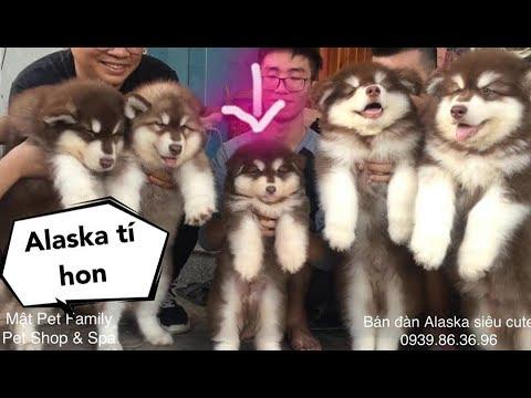 Gặp bé Mật tí hon - Alaska mini là có thật rồi ha ha ha