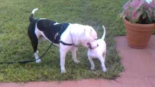 American Bulldog Johnson Type Bella Playing Wit Scott Type American Bulldog Diesel