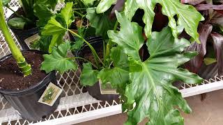 Hope Philodendron Plant Care |Donna Joshi