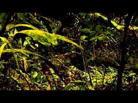 White-lipped Peccaries at Manu National Park