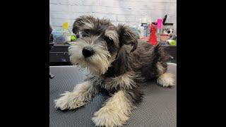 Groomerkt DOG GROOMING: Schnauzer Puppy's First Haircut SO CUTE!!