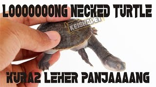 BASIC CARE of LONG NECKED TURTLE / Chelodina siebenrocki ( KURA KURA LEHER PANJANG )