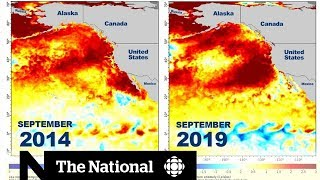 """A new """"blob"""" is brewing, and it's set to seriously impact marine life off B.C.'s coast"""