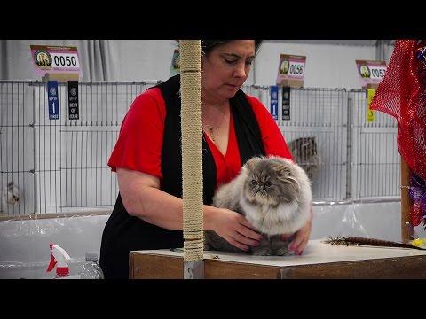 CFA International 2016 - Red Show class judging Persian kittens.1