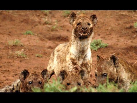 hyenas hunt antelope / hienas cazando antelopes