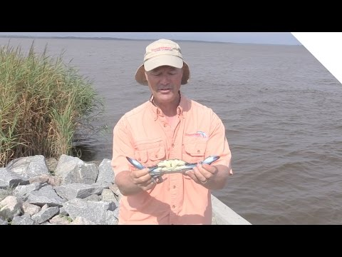 How to Catch Crabs - Blue Crab Crabbing Tips