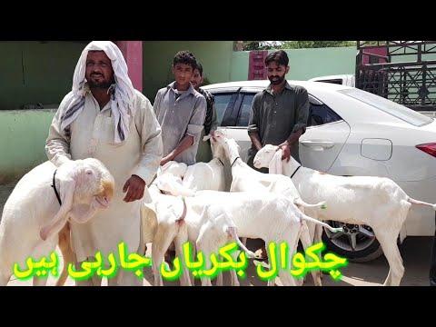Dera Ghazi Khan ke Bakre Gulabi Bakre( 2019 ) گلابی بکرے کرے اچھی نسل کے  بکرے