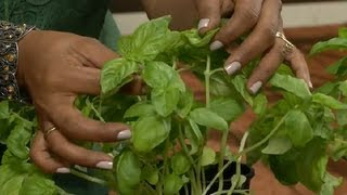 How to Care for a Basil Plant : Gardening Tips