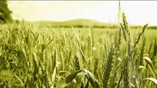 Пшениця та ячмінь: захист прапорцевого листа і колосу(, 2016-05-11T17:41:52.000Z)