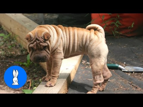 Sharpei Puppy Compilation - TRY NOT TO AWW!