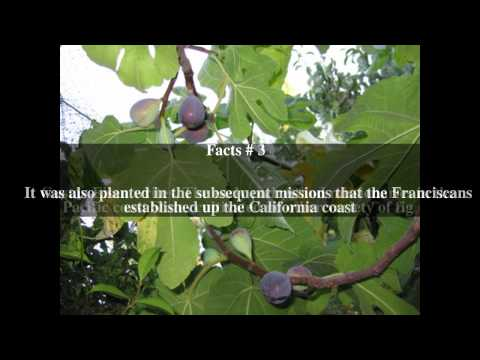 Mission fig Top # 7 Facts